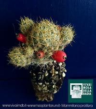 MAMMILLARIA PROLIFÈRE alveolino 1 plante Succulentes 1 plante succulentes