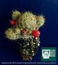 MAMMILLARIA PROLIFERATES alveolino 1 plant Succulent 1 plant Succulent