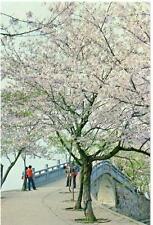 Changchun China  Cherry Blossoms beside Changchun Bridge unused postcard