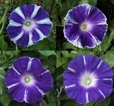 Japanese Morning Glory-Fuji No Au-Stunning Blooms-10 seeds