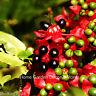 50 FRESH SEEDS Ochna Serrulata Mickey Mouse Plants Yellow Flowers Bonsai RARE