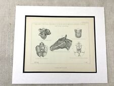 Antique Print Anatomy of the Horse Diagram Equine Equestrian Original Victorian