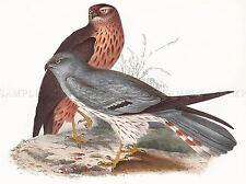 PAINTING BIRDS GOULD ASH COLOURED HARRIER PAIR ART PRINT LAH519A