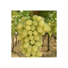 Victoria Grapes 3 Cuttings