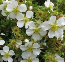 10 Stück Fingerstrauch Potentilla fruticosa Abbotswood Zwergstrauch Sommerblüher
