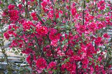 Pflanzen Samen Terrasse Balkon Garten Exoten Zierbusch ZIERQUITTE