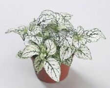 50 Hypoestes Seeds Hypoestes Confetti White Seeds