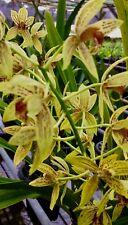Cymbidium Grammatophyllum Hybride ´Summer Spray´ NEW Orchidee Orchideen