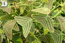 Christia Obcordata striped leaves swallow tail plant 10 seeds USA SELLER