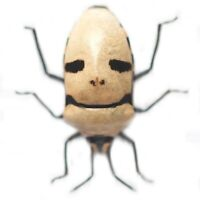 ONE REAL EUCORYSSES GRANDIS WHITE MASK SKULL FACE SHIELD BUG INDONESIA