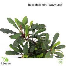 Bucephalandra sp. Wavy Leaf Live Aquarium Plants Shrimp & Snail Safe Low Tech EU