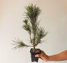 "2 Japanese Black Pine 'Mikawa' trees 18"" to 2 ft. Pinus thunbergii,bonsai stock"