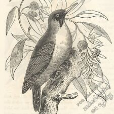 Green Woodpecker: antique 1866 engraving print - bird picture animal drawing art