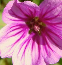 50 Samen Rot-weiße Malve Malva sylvestris Zebrina Dauerblüher