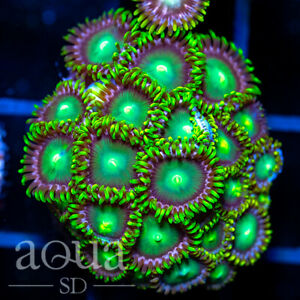 ASD - 003 Dragon Eyes Zoanthids - Aqua SD Live Coral Frag