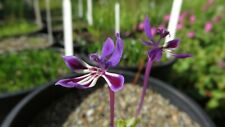 Lapeirousia jacquinii, 20 seeds