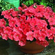 200PCS Petunia Red Hybrida Seeds Home Gardening Bonsai Balcony Flowers Summer