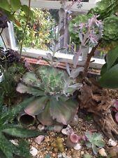 Echeveria Ruffles Purple Pink Cabbage Large Rare Succulent U.K. Grower