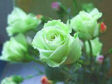 20+ PALE GREEN MIDNITE ROSE BUSH Seeds       USA SELLER SHIPS FREE