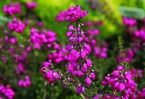 6 Erica CINEREA Garden Heathers