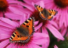 Ansichtskarte:  Kleiner Fuchs - Schmetterling (Aglais urticae)