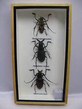 3D Box - 3 insectes - taxidermie  une beauté unique Naturalise - réel