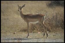 296071 Impala a whange Parco Nazionale A4 FOTO STAMPA