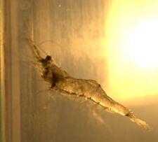 2000 Live Mississippi Grass Shrimp (Palaemonetes kadiakensis) for pond stocking