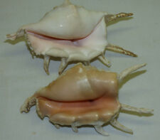"""2 Vintage Beach Spider Conch Shells Seashells 6 1/4"""" & 7"""" Long Estate Collection"""