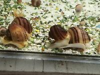 10 Red Snails Live Freshwater Aquarium Snail Fresh Water Mixed Sizes