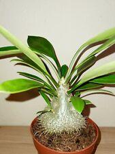 Formiche pianta-myrmecodia beccarii, Caudex, RAR