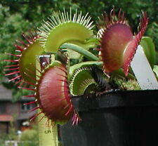 15 seeds Dionaea Giant Mix , fresh form 2020 , Venus fly trap VFT