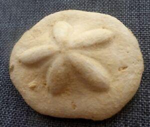 Clypeaster ,  Oursin Fossile, Urchin Seeigel,  Cuba