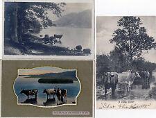 Lot Of 3 Antique Original Postcards - 'Cattle'
