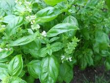 Albahaca (Ocimum basilicum (albahaca)) 1 Porción minimo 100 Semillas