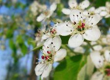Pyrus betulifolia BIRCHLEAF PEAR TREE Seeds!