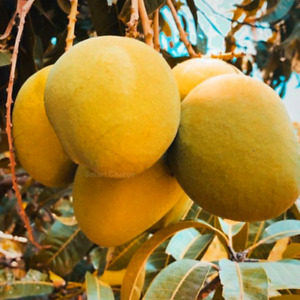 2 PCS Seeds Gold Mango Bonsai Fruit Tree Seeds For Planting Mangifera indica