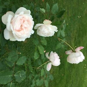 Madame Alfred Carriere    Climbing Rose  7ltr Potted Rose Plant   White