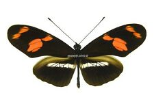 Unmounted Butterfly/Nymphalidae - Heliconius telesiphe telesiphe, male, Peru