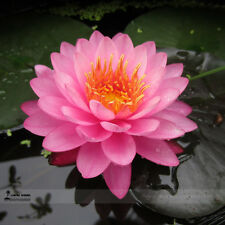 Pink Nelumbo Nucifera Lotus Flowers Seeds Pink Lotus Seeds Flowers Water Lotus