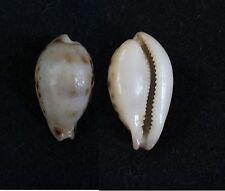 "Cypraea hungerfordi bealsi f. lovetha, 27.2 mm, F+, ""RARE"""