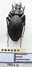 Carabus ohomopterus deehani punctatostriatus (male A1) from JAPAN (Carabidae)