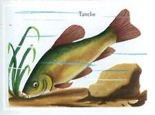 IMAGE CARD 60s Tanche Tinca tinca Cyprinidae Tench or Doctor fish