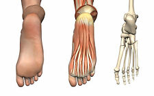A3 Poster médical – le pied humain peau, le Muscle & le squelette vue (pathologie)