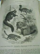 Les Rongeurs Ecureuil Marmotte 1859 Gravure Print Article