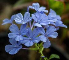 5 Samen Kap-Bleiwurz (Plumbago auriculata), Dauerblüher, himmelblaue Blüten