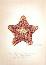 Sea BISCUIT STARFISH original SIGNED handworked limited edition art print