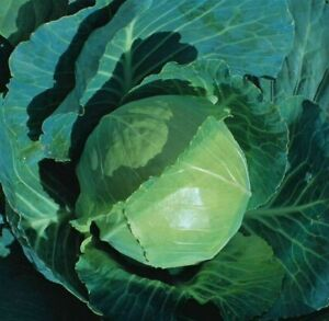 75 Cabbage EARLIEST OF ALL Seeds – Easy To Grow – Reliable Crop – Free Postage