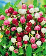 Seeds Globe Amaranth Gomphrena Pompom Mix Flower Annual Outdoor Organic Ukraine