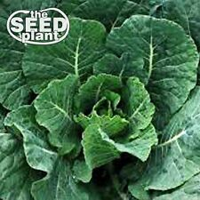 Vates Collard Green Seeds - 250 SEEDS-SAME DAY SHIPPING